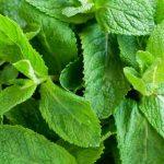 Comment conserver des feuilles de menthe fraîche ?