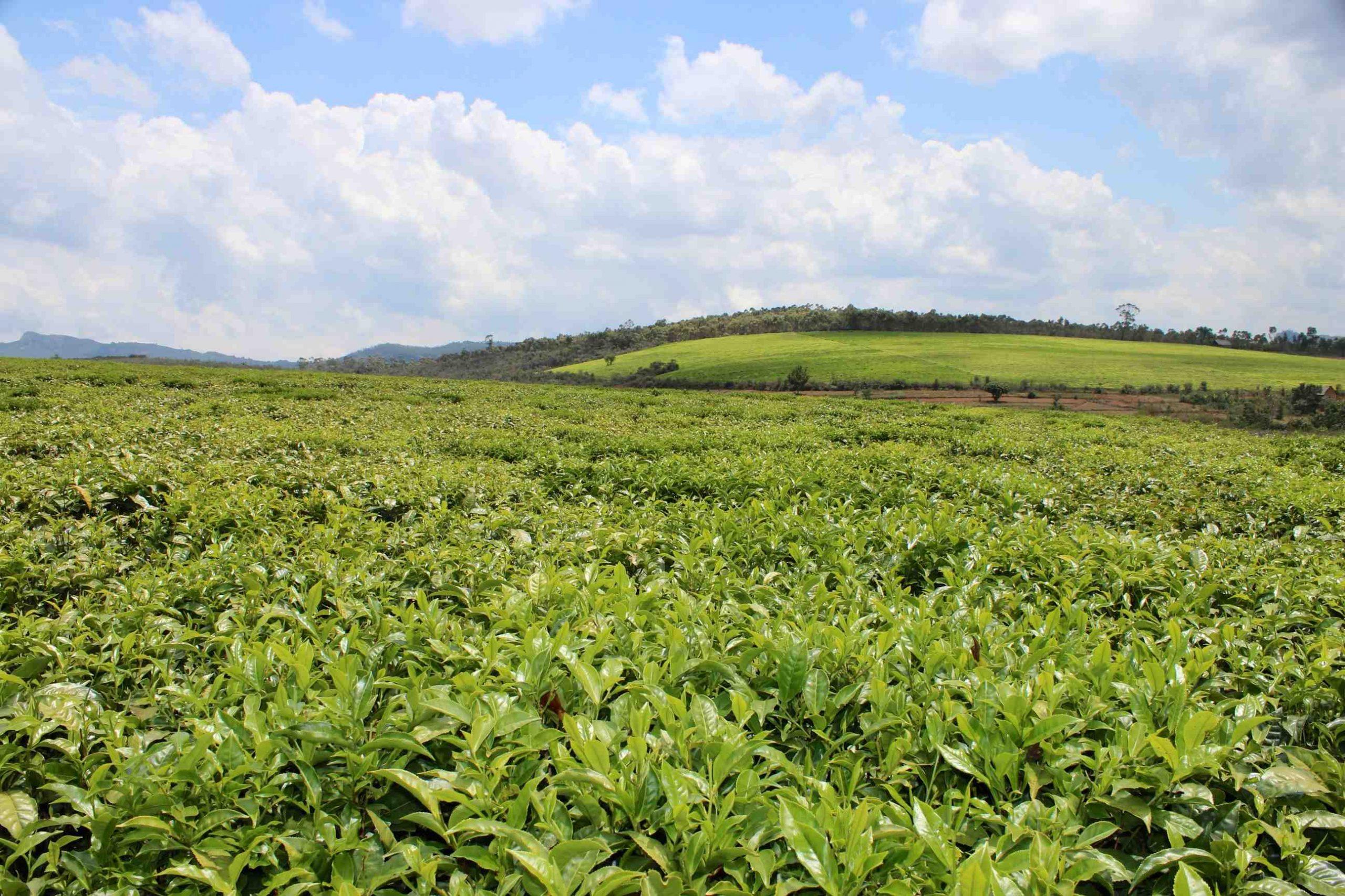 Quel thé a le plus de bienfaits ?
