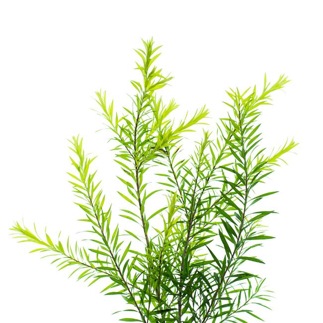 Quelles sont les vertus de l'arbre à thé ?